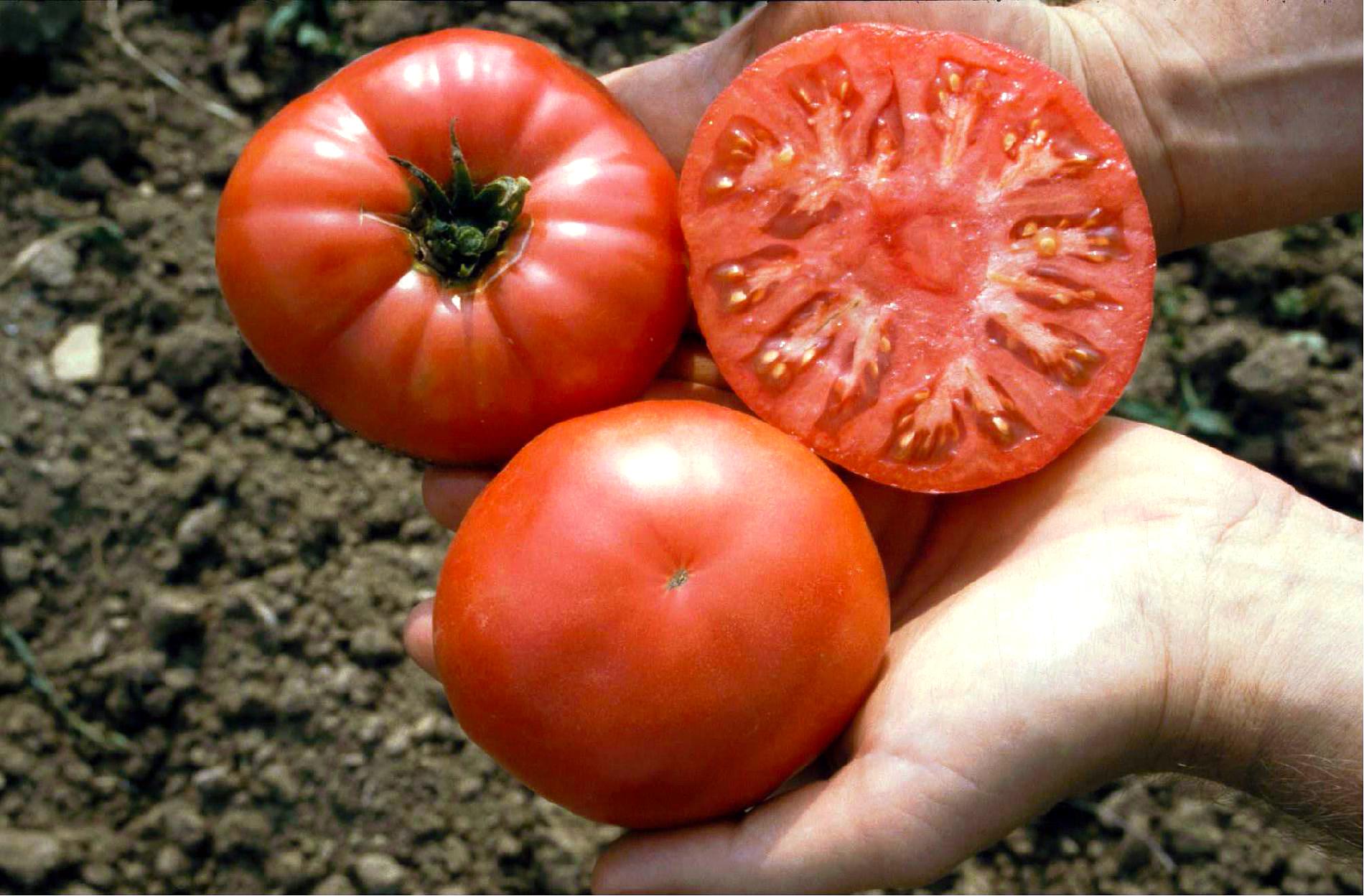Paprikaförmige – Culinaris