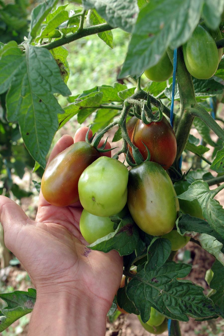 Black Plum – Culinaris