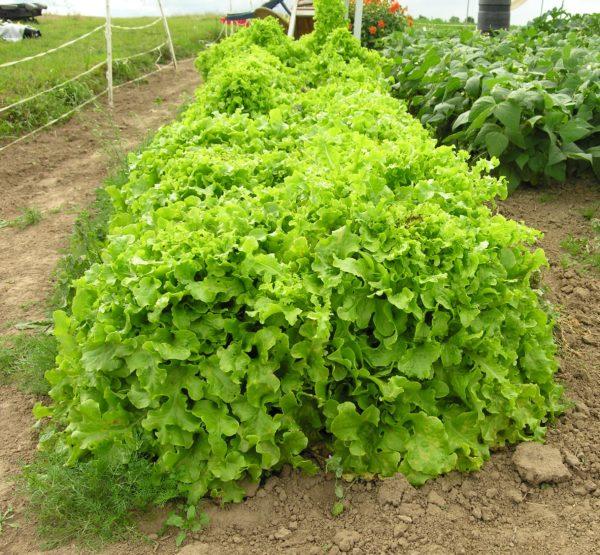 2011.08.05 Schnittsalat Salad Bowl D 3 zuschnitt