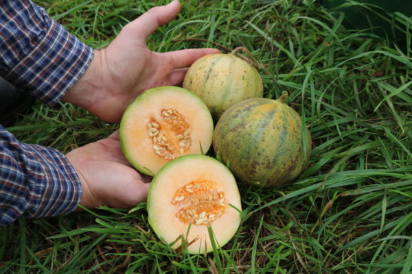 Melone Cantaloup Charentais scaled