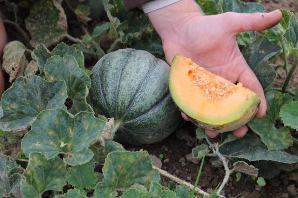 Melone Oka du Quebec scaled